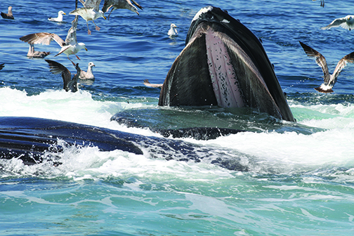 Photo courtesy of the Center for Coastal Studies CoastalStudies.org ~ Center for Coastal Studies under NOAA permit # 16325